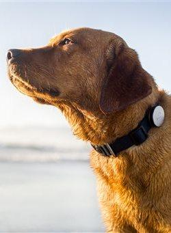 This product image provided by Whistle Labs, Inc. shows a dog wearing a new device, called Whistle, that lets pet owners track how much exercise -- or sleep -- their four-legged friends are getting.
